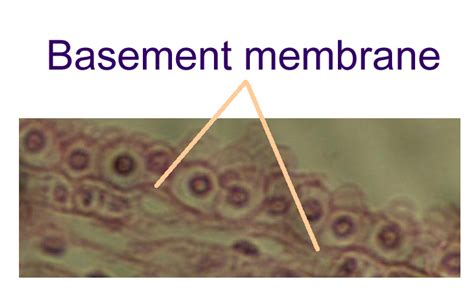basement membrane epithelium scar tissue quotes like success