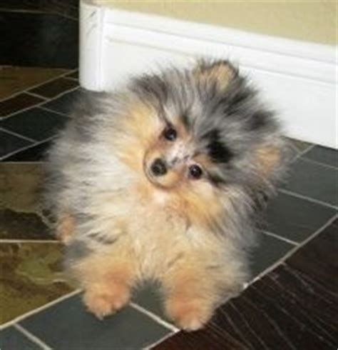 teacup pomeranian shed 1280 best images about pom on teacup pomeranian puppy pomeranian