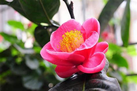 velas rom 225 nticas fotograf 237 a de archivo libre de regal 237 as rom ntica flores camellia flores rom 225 nticas y delicadas
