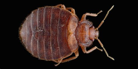 bed bugs won t give you chagas disease probably deepak