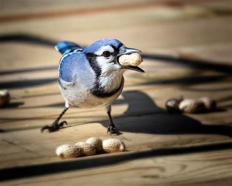 blue jay eating a peanut by al mueller