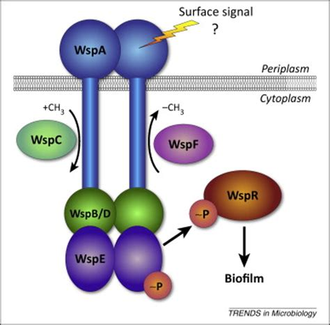 protein x is an unknown membrane protein biofilms flagella and mechanosensing of surfaces by