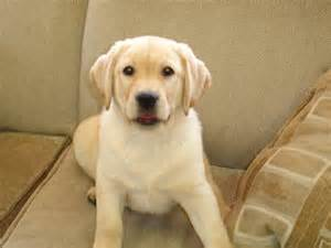 Retriever puppies for sale new jersey puppies for sale breeders club