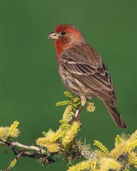house finch birds pinterest