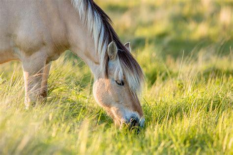 fjord sso fjord horse
