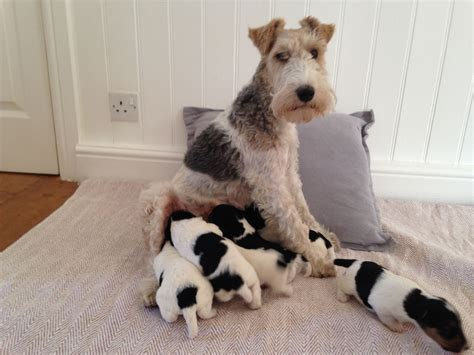 wire fox terrier puppies breeders wire fox terrier puppies bishop auckland county durham pets4homes