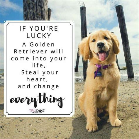 where did golden retrievers originate from 1000 golden retriever quotes on sweet quotes i dogs and puppy