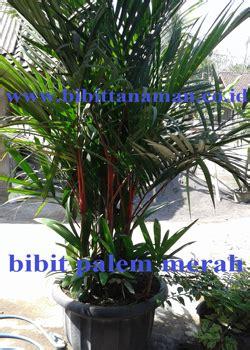 Jual Bibit Durian Bawor Nganjuk bibit palem merah murah unggul di purworejo jawa tengah