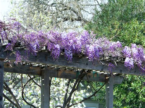 wisteria trellis wisteria trellis by mthrof2 on deviantart