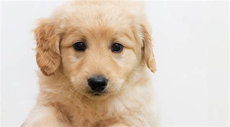 small dogs like golden retrievers comfort retriever miniature golden retriever