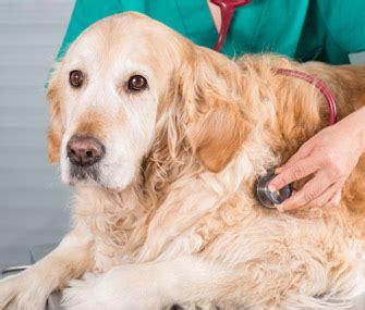 lymphoma in golden retrievers an update on canine lymphoma treatment