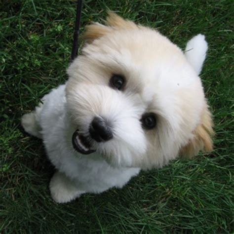 coton de tulear puppy cut 8 best images about coton de tulear grooming on the ear pictures of and jena