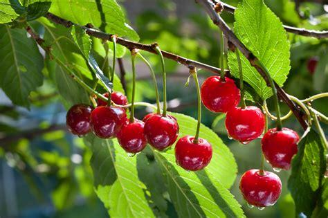 fiori alberi da frutto come coltivare alberi da frutto in casa la guida pratica