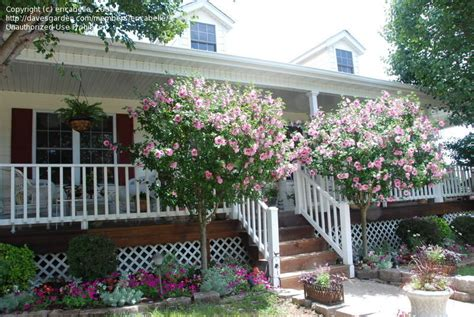 gardening on the porch pruning plantfiles pictures of shrub althea
