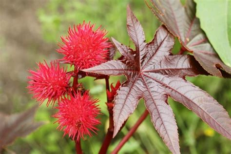 Green Living castor oil plant green moms collective