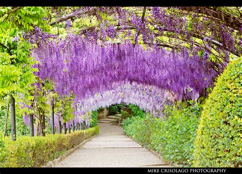purple flower garden hanging purple garden of florence italy florence