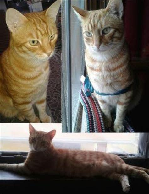 cucciolissimi org cucciolissimi smarrito gatto cucciolissimi org cucciolissimi smarrito gatto rosso a