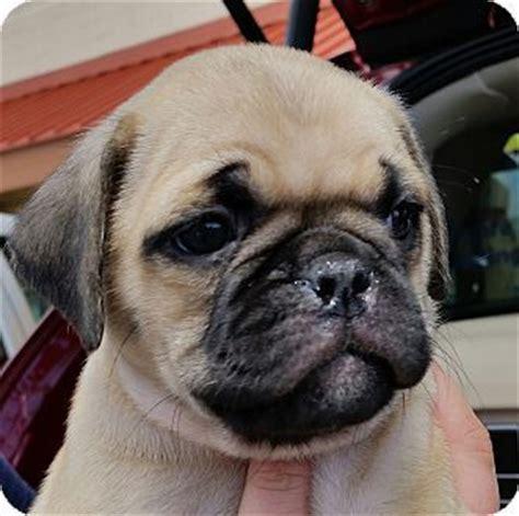 pug puppies arizona joaquin 3 4 pug pup adopted puppy az pug boxer mix pugs