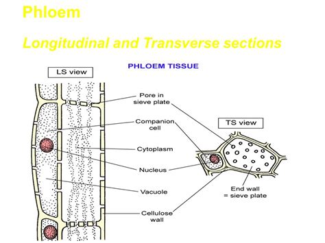 transverse section of xylem and phloem structure of flowering plants ppt video online download