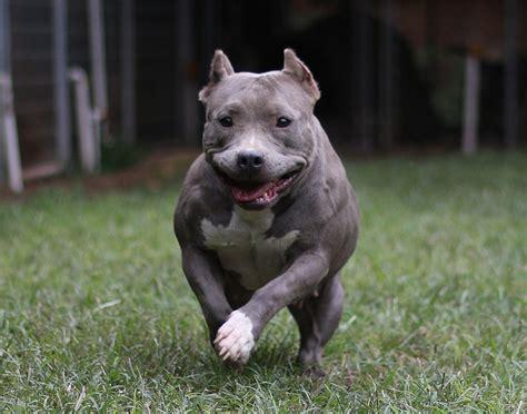 nose pitbull puppies for sale in ga pitbull puppies for sale blue pitbull puppies sale blue nose ga
