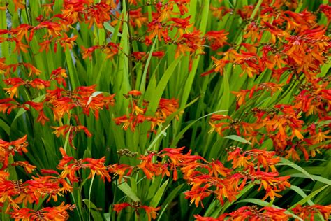 on my wish list crocosmia by the gardening