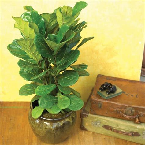 pictures of house plants leaves houseplants you can t kill figs houseplant and air layering