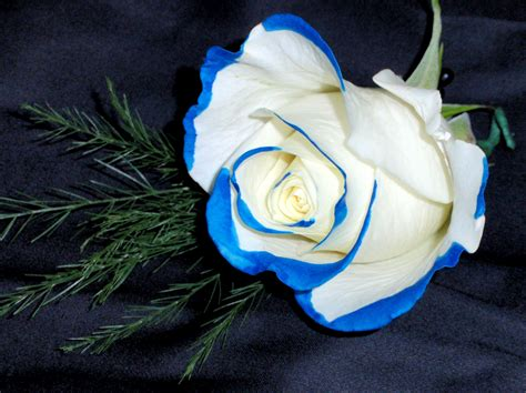 Blue Tipped Flower boutonniere blue tipped white prom