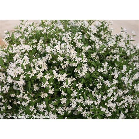 proven winners  gal yuki snowflake deutzia  shrub