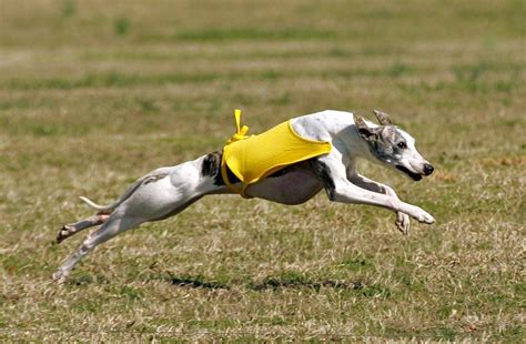 running dogs running whippet photo and wallpaper beautiful running whippet pictures