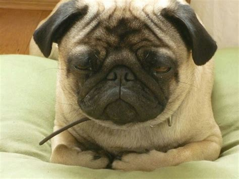 chines pug pin by hinsch on must dogs especially pugs pi
