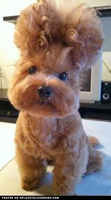 bad puppy s big day 71 best images about hair day or bad hair day on poodles pictures