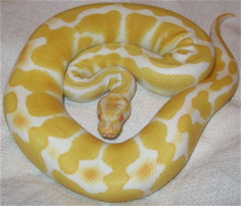 26 types of ball pythons & morphs clubfauna