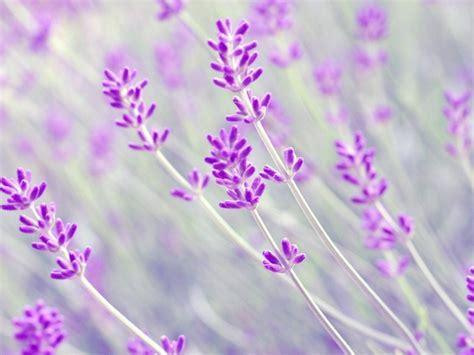 tapete lavendel lavender background wallpapersafari