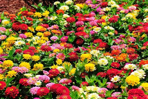 Zinnias Flower Garden Gorgeous From A To Zinnia Gardening