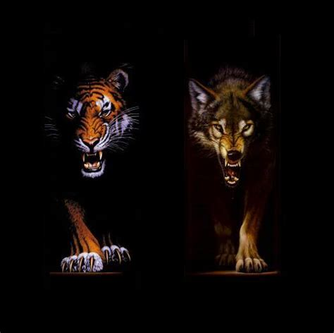 wolf vs wolves images wolf vs tiger wallpaper and background photos 30001846