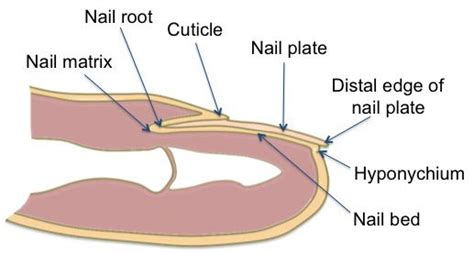 what is a nail bed cross section of fungal fingernails cross eyed