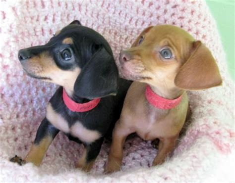 dachshund chihuahua mix puppy 25 best ideas about dachshund pictures on puppies weiner