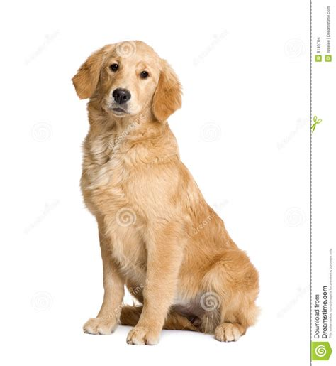 golden retriever clip retriever clipart clipground