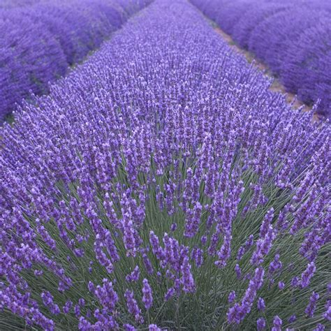 buy lavender lavandula angustifolia munstead 163 11 99