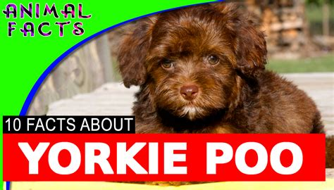yorkie information and facts 10 yorkie poo yorkipoo dogs 101 facts yorkie poodle mix information yorkiepoo