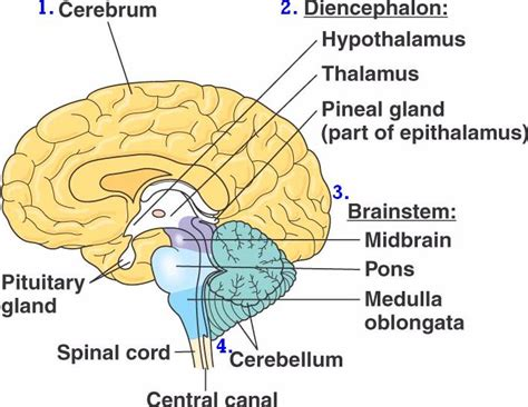 diagram of diencephalon brain anatomy and ventricular system dms cross sectional
