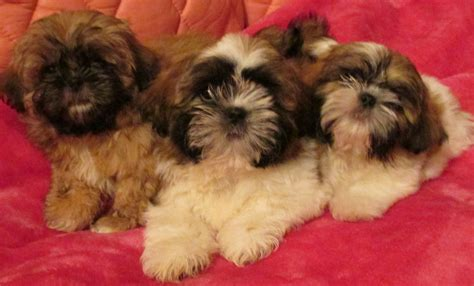 golden shih tzu 3 golden shih tzu puppies for sale uttoxeter staffordshire pets4homes