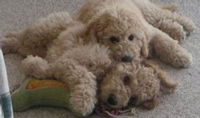 mini labradoodles raleigh nc miniature poodle breeders island photo