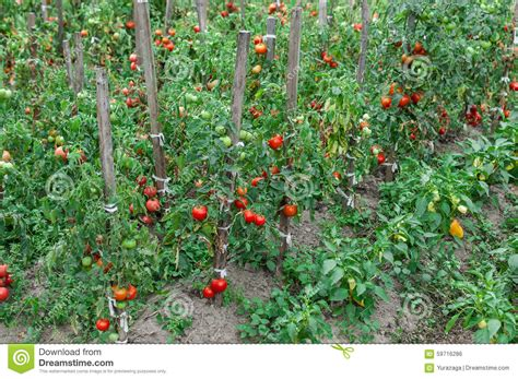 line of tomato bushes growing in the garden stock photo