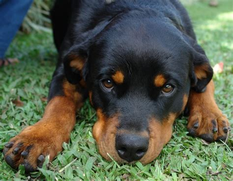 facts about rottweilers 31 rottweiler facts everyone needs to
