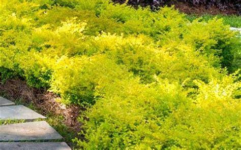sunshine ligustrum 2 gallon shrub deer resistant shrubs