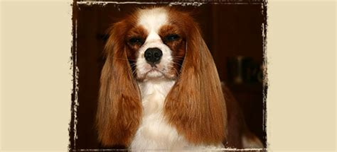 king charles cavalier puppies nc puppies lizmere cavalier king charles spaniels nc 704 473