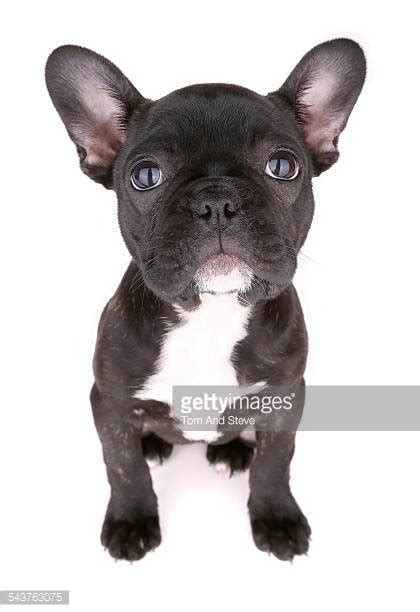 black bulldog puppy bulldog stock photos and pictures getty images