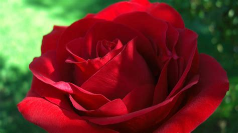 wallpaper for desktop red roses red roses hd wallpapers for desktop red roses hd