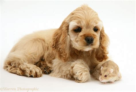 american cocker spaniel puppies breed spotlight on american cocker spaniel